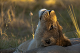 A Young Lioness, Panthera Leo, Resting with Her Head Tilted Up, Looking at the Sky Photographic Print by Beverly Joubert
