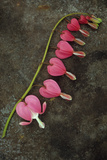 Stem of Pink and White Flowers of Bleeding Heart or Dicentra Gold Heart Lying Photographic Print by Den Reader