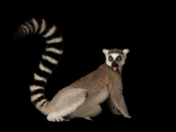 A Ring-Tailed Lemur, Lemur Catta, at the Lincoln Children's Zoo Photographic Print by Joel Sartore