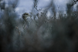 A Darwin's Rhea in Torres Del Paine National Park Photographic Print by Mattias Klum