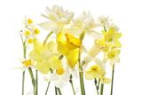 Daffodil Blossoms Fotodruck von Robert Llewellyn