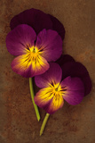 Close Up of Two Purple Mauve and Yellow Flowers of Pansy or Viola Tricolor Lying Photographic Print by Den Reader