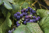 Grapes on a Vine Photographic Print by Jonathan Irish