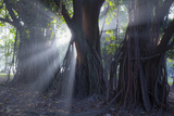 Light Rays Make their Way Through Massive Trees in Ibirapuera Park on a Misty Morning Photographic Print by Alex Saberi