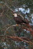 A Bald Eagle on Brahma Island Photographic Print by Carlton Ward