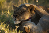 Two Female Lions, Panthera Leo, Resting and Grooming in the Grass Together Photographic Print by Beverly Joubert