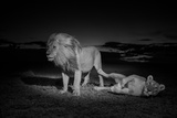 An Adult Male Lion, Hildur, and a Vumbi Female Rest after Mating Lámina fotográfica por Nichols, Michael