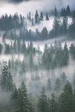Ponderosa Pines Trees, Pinus Ponderosa, in Morning Fog Photographic Print by Ira Meyer
