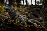 A Juvenile Marine Iguana Rests on a Lava Rock Photographic Print by Mattias Klum