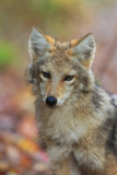 Portrait of a Coyote, Canis Latrans, Fallen Leaves in Autumn Photographic Print by Robbie George