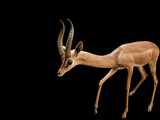 A Studio Portrait of a Gerenuk, Lictocranius Walleri, at the Los Angeles Zoo Photographic Print by Joel Sartore