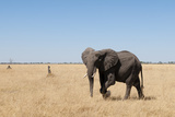 An African Elephant, Loxodonta Africana, Walks Through the Savuti Marsh Photographic Print by Sergio Pitamitz