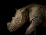 A Critically Endangered Four-Year-Old Male Sumatran Rhino at White Oak Conservation Center Photographic Print by Joel Sartore