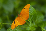 A Julia or Orange Long Wing Butterfly, Dryas Julia Photographic Print by Medford Taylor