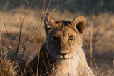 Portrait of a Young Lion, Panthera Leo, in Warm Golden Sunlight Photographic Print by Sergio Pitamitz