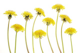 Dandelion Flowers Photographic Print by Robert Llewellyn