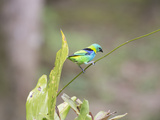 A Green Headed Tanager on a Branch Reproduction photographique par Alex Saberi