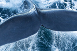 The Tail of a Right Whale Photographic Print by Michael Melford