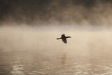 A Cormorant Flies over a Misty Lake at Sunrise Photographic Print by Alex Saberi