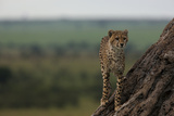 A Cheetah Standing on the Trunk of a Leaning Tree, Looking Out over the Landscape Photographic Print by Beverly Joubert