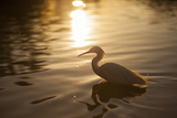 An Egret at Sunset on Ibirapuera Park Lake Photographic Print by Alex Saberi