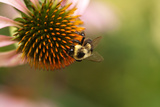 A Bee on a Coneflower Photographic Print by Vickie Lewis