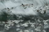 Cape Petrels in Flight over Breaking Ocean Surf on an Elephant Island Beach Photographic Print by Michael Melford