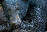 Close Up of a Florida Black Bear Photographic Print by Carlton Ward