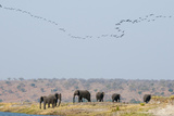 A Herd of African Elephants, Loxodonta Africana, Along Chobe River Photographic Print by Sergio Pitamitz