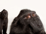Critically Endangered Celebes Crested Macaques, Macaca Nigra, at the Henry Doorly Zoo Photographic Print by Joel Sartore