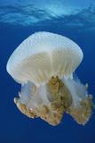 Portrait of a Thysanostoma Thysamura Jellyfish Photographic Print by Jeff Wildermuth