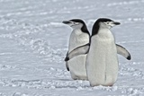 Chinstrap Penguins, Pygoscelis Antarcticus, on the Aitcho Islands Photographic Print by Kike Calvo