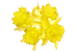 Daffodil Blossoms Photographic Print by Robert Llewellyn
