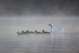 White Faced Whistling Ducks and a White Goose on a Misty Lake at Sunrise Photographic Print by Alex Saberi