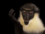 A Young, Female Diana Monkey, Cercopithecus Diana Photographic Print by Joel Sartore