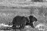 A Lion and Lioness, Panthera Leo, Walking Side by Side Through Flooded Grasses Fotodruck von Beverly Joubert