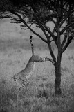 A Cheetah, Acinonyx Jubatus, Leaps Down from the Trunk of a Small Tree in the Savanna Impressão fotográfica por Beverly Joubert