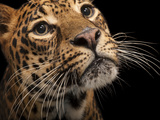 A Federally Endangered African Leopard, Panthera Pardus Pardus, at the Houston Zoo Photographic Print by Joel Sartore