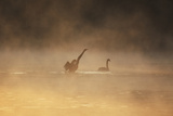 A Male Black Swan Chases a Female across Ibirapuera Park Lake on a Misty Morning Photographic Print by Alex Saberi