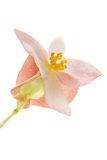 A Begonia Flower Blossom Photographic Print by Robert Llewellyn