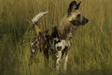 Portrait of an Endangered African Wild or Cape Hunting Dog, Lycaon Pictus, in Tall Grass Photographic Print by Beverly Joubert