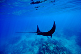 A Manta Ray Glides over a Reef Near the Surface of a Tropical Ocean Photographie par Jason Edwards
