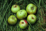 Green and Red Cooking Apples Photographic Print by Den Reader