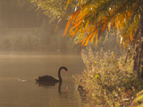 Sunrise on a Misty Lake in Ibirapuera Park with a Black Swan Photographic Print by Alex Saberi
