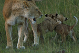 Two Lion Cubs, Panthera Leo, Play Fight Near their Mother Who Growls and Bares Her Teeth Photographic Print by Beverly Joubert