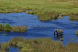 Aerial of an African Elephant, Loxodonta Africana, Standing in a Channel of Water Photographic Print by Beverly Joubert
