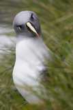 A Curious Grey Headed Albatross at Elsehul Bay on South Georgia Island Photographic Print by Michael Melford