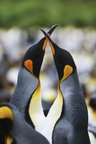 A Pair of King Penguins, Aptenodytes Patagonicus, Courting in a Rookery Photographic Print by Ira Meyer