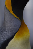 Close Up View of the Feathers of a King Penguin at Gold Harbour on South Georgia Island Photographic Print by Michael Melford
