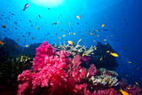 A Branching Pink Carnation Coral Swarming with Colorful Reef Fish Lámina fotográfica por Edwards, Jason